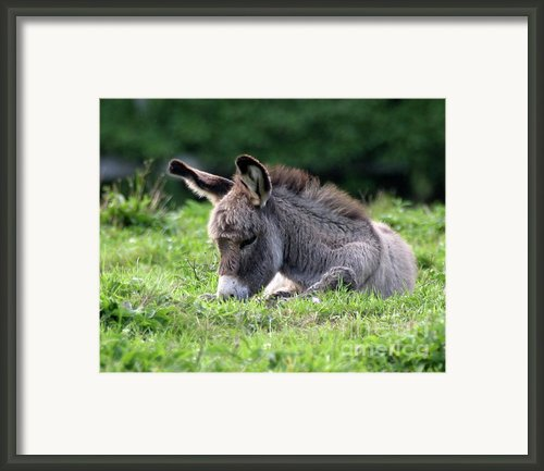 Baby Donkey Framed Print By Deborah  Smith