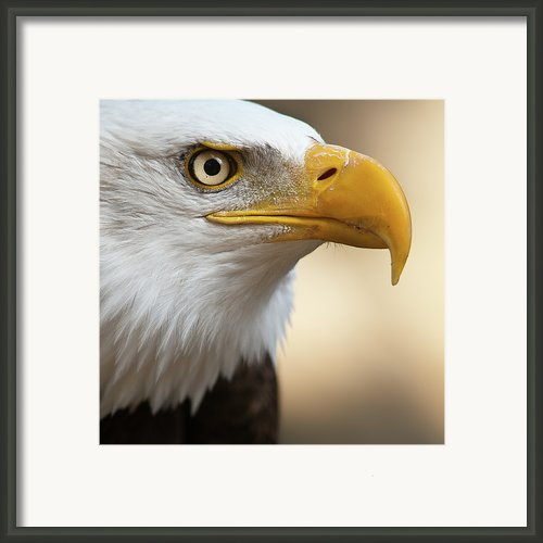 Bald Eagle Framed Print By Jonatan Hernandez Photography