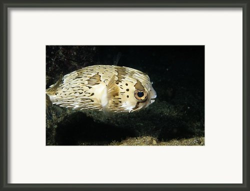 Balloonfish Profile Puffer Fish, Diodon Framed Print By James Forte