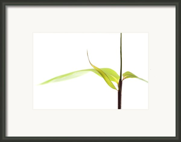 Bamboo Meditation 1 Framed Print By Carol Leigh
