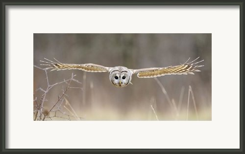 Barred Owl In Flight Framed Print By Scott  Linstead