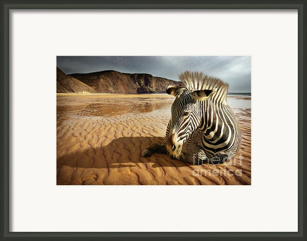 Beach Zebra Framed Print By Carlos Caetano