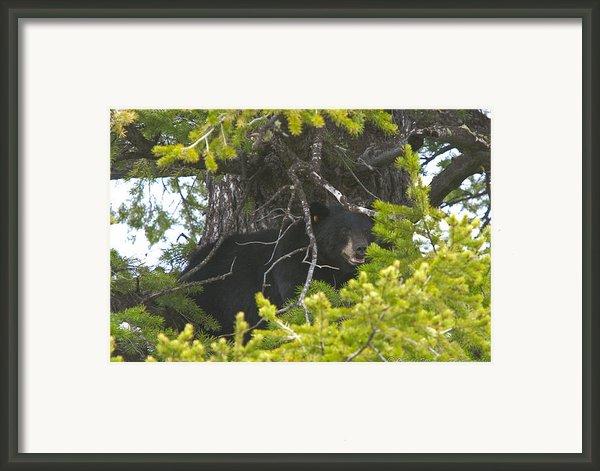 Bear In A Tree Framed Print By Charles Warren