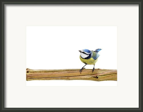 Beautiful Blue Tit Framed Print By Marceltb