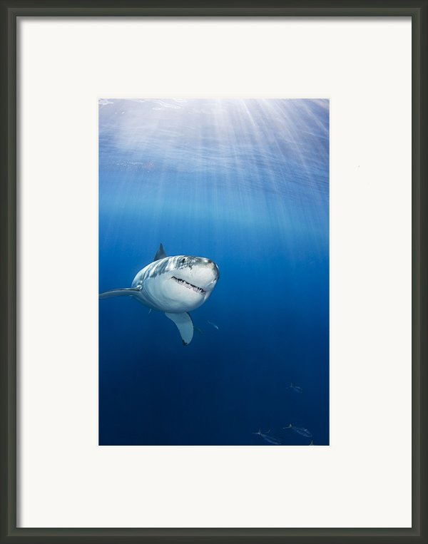 Beautiful Great White Framed Print By Dave Fleetham - Printscapes