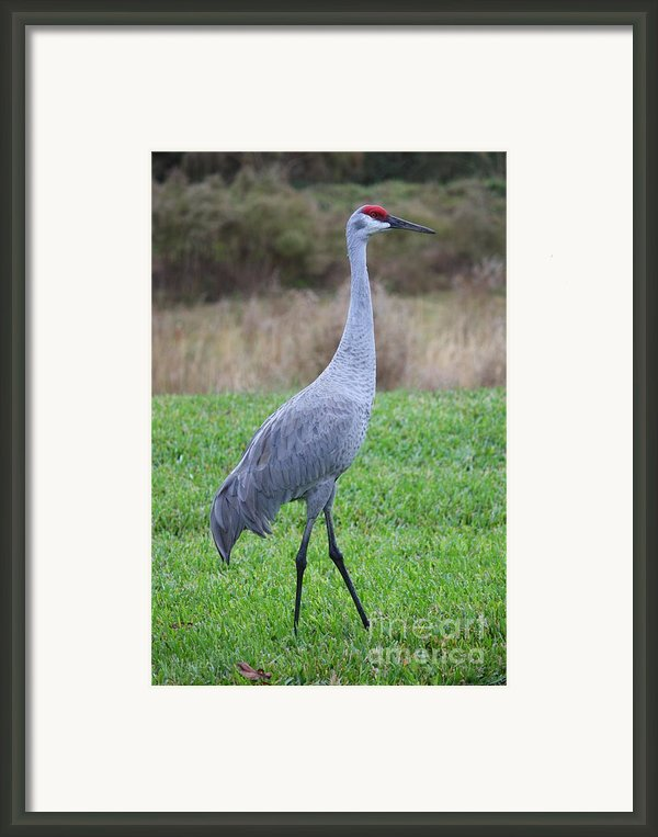 Beautiful Sandhill Crane Framed Print By Carol Groenen