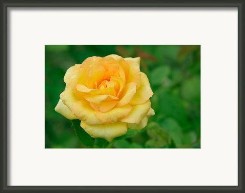 Beautiful Yellow Rose Framed Print By Atiketta Sangasaeng