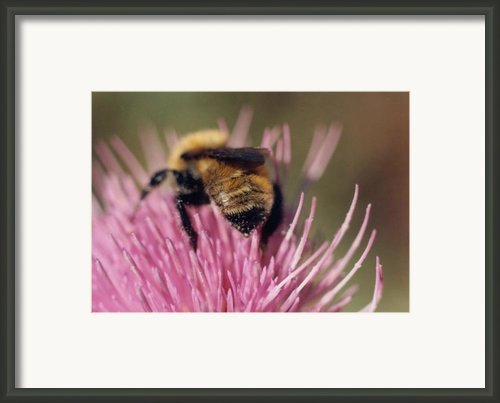 Bee On Thistle 102 Framed Print By Diane Backs-mancuso