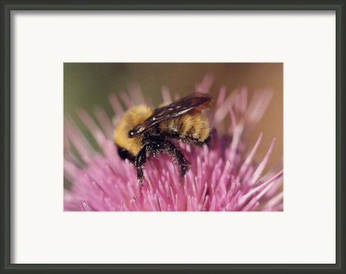 Bee On Thistle 103 Framed Print By Diane Backs-mancuso