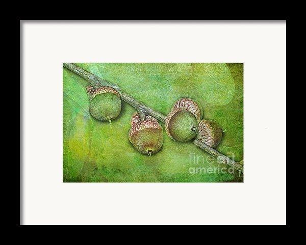 Big Oaks From Little Acorns Grow Framed Print By Judi Bagwell