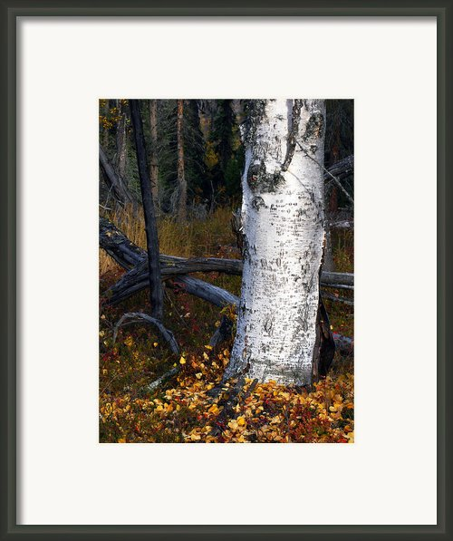 Birch Autumn 3 Framed Print By Ron Day