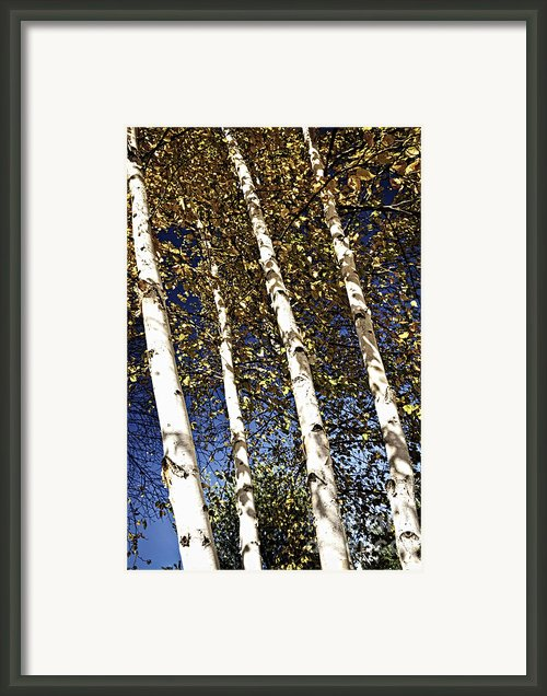 Birch Trees In Fall Framed Print By Elena Elisseeva