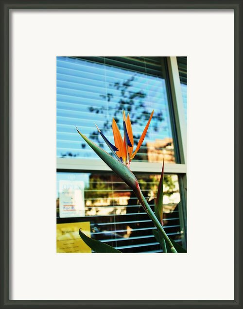 Bird Of Paradise-2 Framed Print By Todd Sherlock