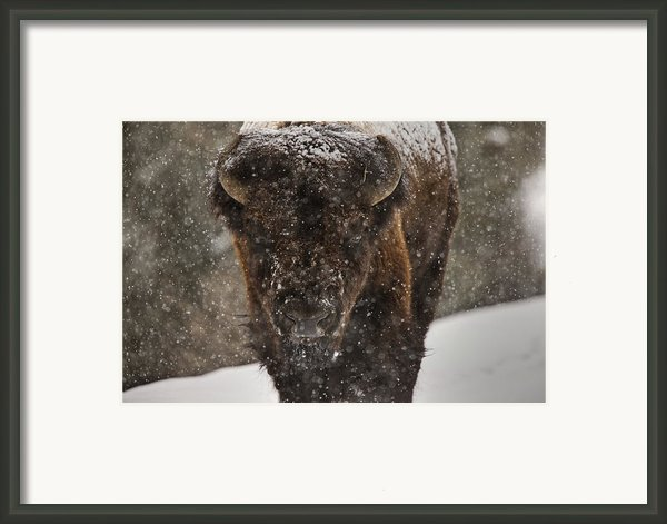 Bison Buffalo Wyoming Yellowstone Framed Print By Mark Duffy