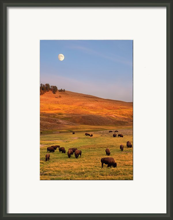 Bison Grazing On Hill At Hayden Valley Framed Print By Sankar Raman