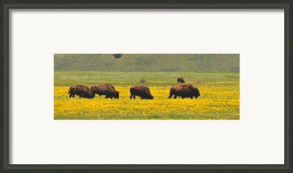 Bison Herd Framed Print By Alan Lenk
