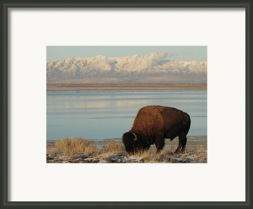 Bison In Front Of Snowy Mountains Framed Print By Mathew Levine