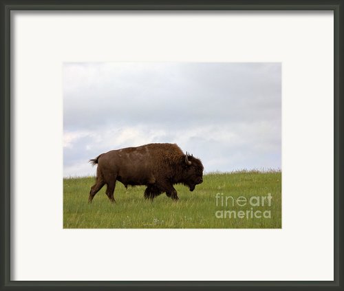 Bison On The American Prairie Framed Print By Olivier Le Queinec