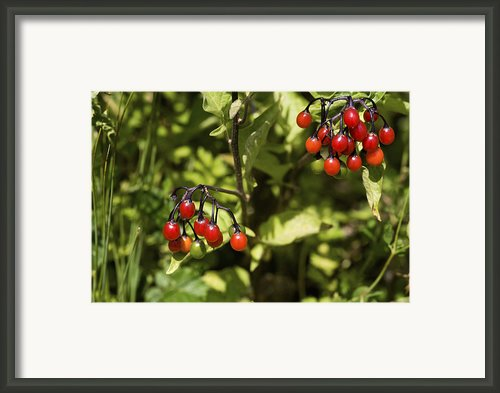 Bittersweet Berries (solanum Dulcamara) Framed Print By Dr Keith Wheeler