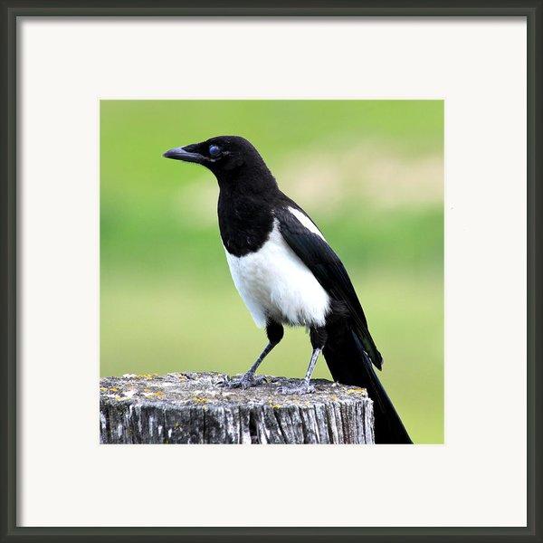 Black-billed Magpie Framed Print By Karon Melillo Devega