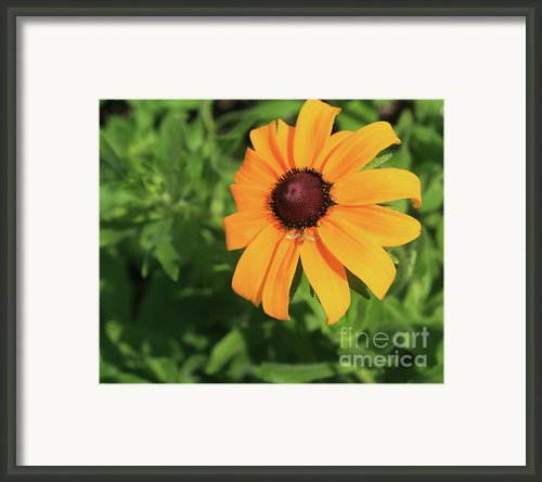 Black Eyed Susan 2 Framed Print By Marjorie Imbeau