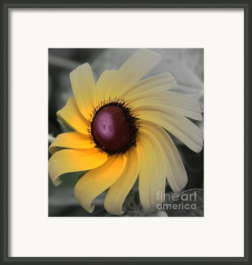 Black Eyed Susan Abstract 2 Framed Print By Marjorie Imbeau
