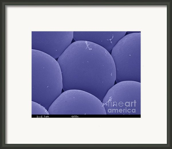 Black Fly Eye, Sem Framed Print By Ted Kinsman