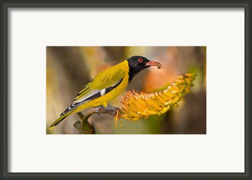 Black-headed Oriole Framed Print By Basie Van Zyl