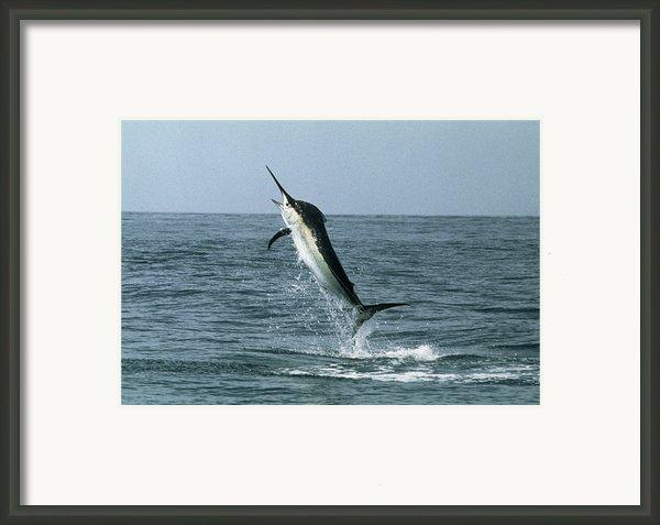 Black Marlin Framed Print By Georgette Douwma