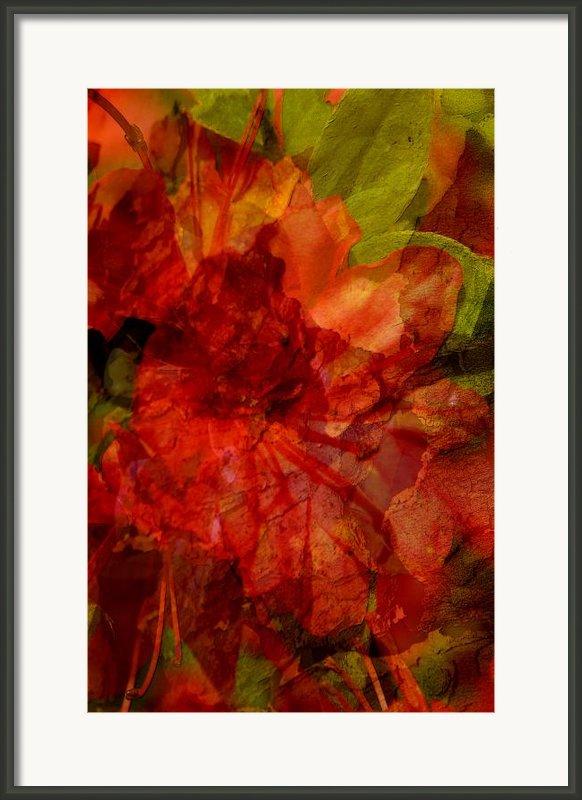 Blood Rose Framed Print By Tom Romeo