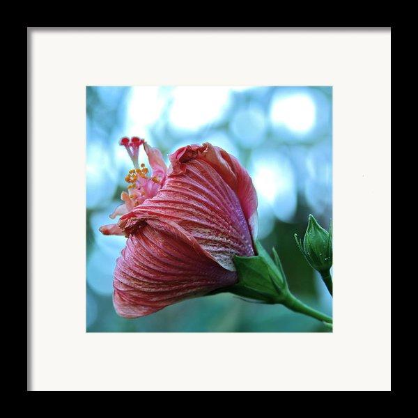 Blossoming Pink Hibiscus Flower Framed Print By Karon Melillo Devega