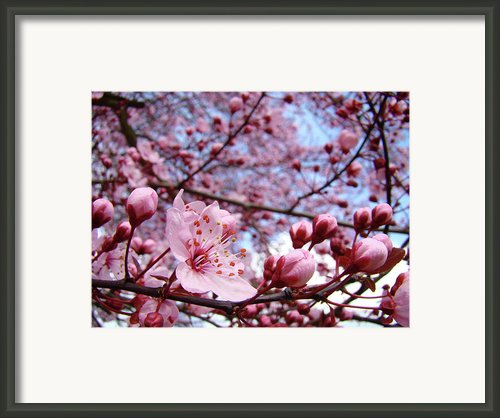 Blossoms Art Blue Sky Spring Tree Blossoms Pink Giclee Baslee Troutman Framed Print By Baslee Troutman Fine Art Pritns Collections