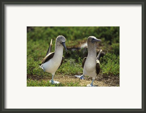Blue-footed Booby Sula Nebouxii Pair Framed Print By Tui De Roy