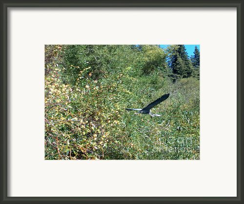 Blue Heron In Flight  Framed Print By The Kepharts