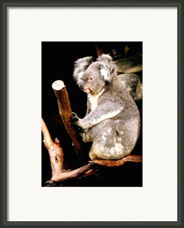 Blue Mountains Koala Framed Print By Darren Stein