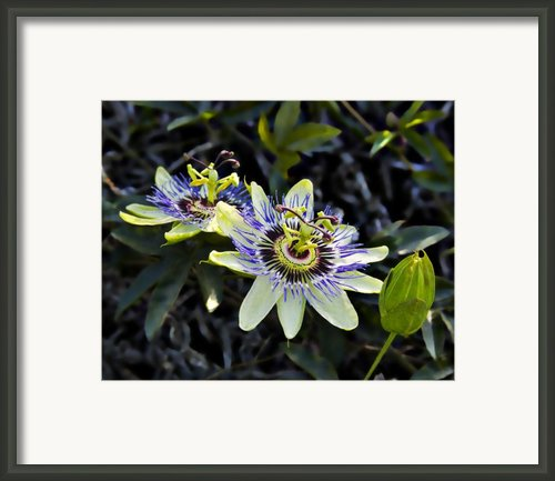Blue Passion Flower Framed Print By Kelley King