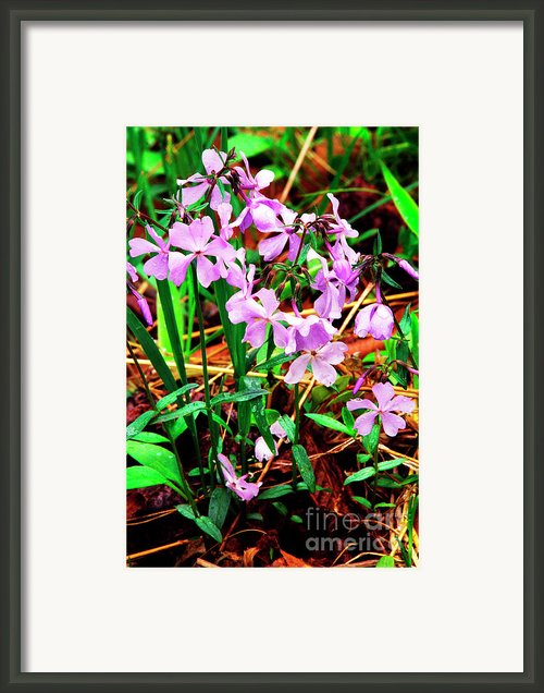 Blue Phlox With Raindrops Framed Print By Thomas R Fletcher