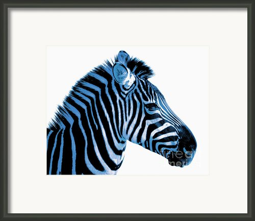 Blue Zebra Art Framed Print By Rebecca Margraf