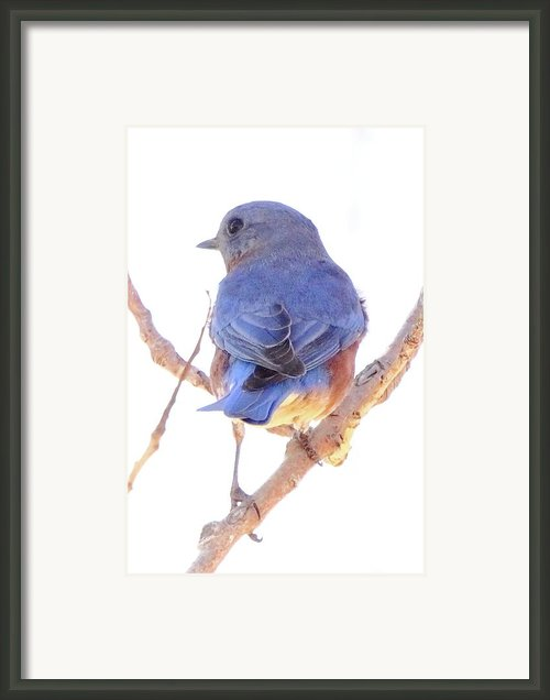 Bluebird On White Framed Print By Robert Frederick