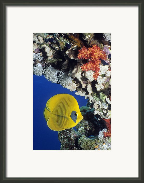 Bluecheek Butterflyfish Framed Print By Georgette Douwma