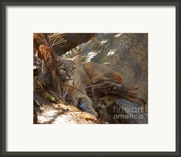 Bobcat Framed Print By Didi Higginbotham