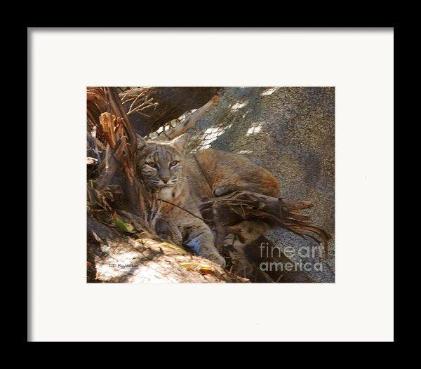Bobcat Framed Print By Didi Higginbotham