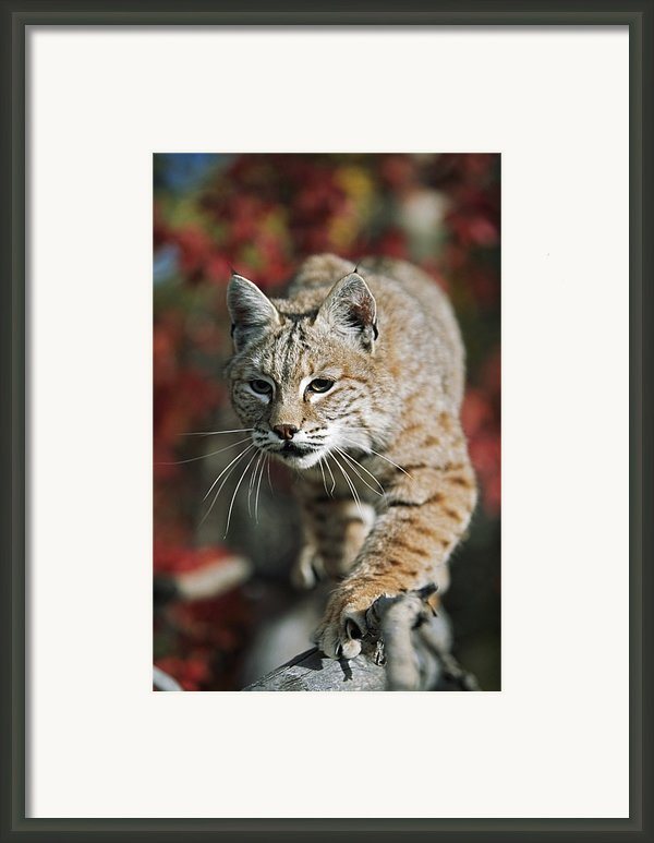 Bobcat Felis Rufus Framed Print By David Ponton