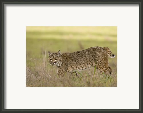 Bobcat Female Walking Santa Cruz Framed Print By Sebastian Kennerknecht