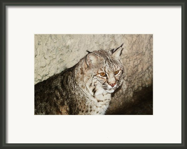 Bobcat Iv Framed Print By Didi Higginbotham