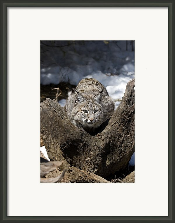 Bobcat  Framed Print By Jeff Grabert