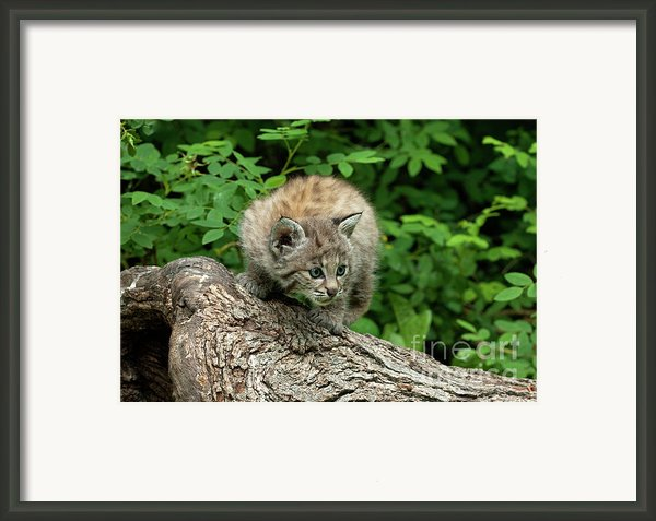 Bobcat Kitten Exploration Framed Print By Sandra Bronstein