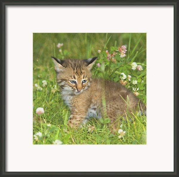 Bobcat Kitten Framed Print By John Pitcher