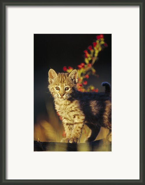 Bobcat Kitten Standing On Log North Framed Print By Tim Fitzharris