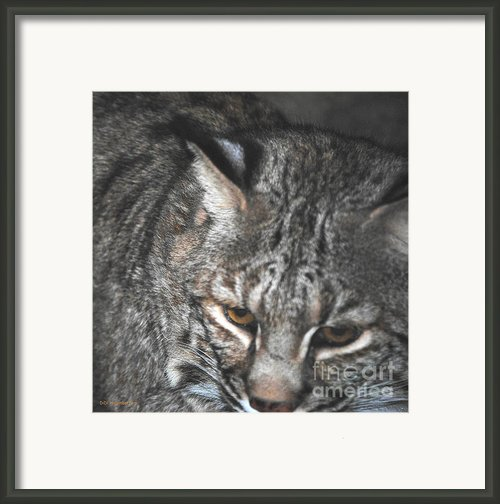 Bobcat Love Framed Print By Didi Higginbotham
